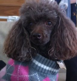Reunited Brown Toy Poodle Woollahra Nsw 2025 Brown Toy Poodle Chocolate Poodle Poodle