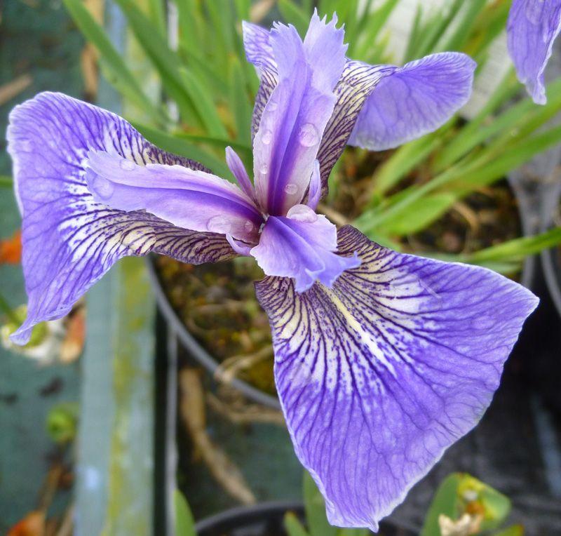 Iris Setosa Baby Blue Arctic Online From Jacksons Nurseries