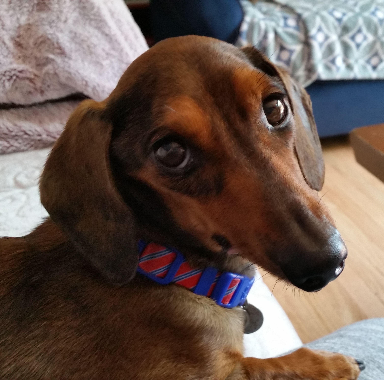 Adopt Siggi on Petfinder Dachshund rescue, Dachshund dog