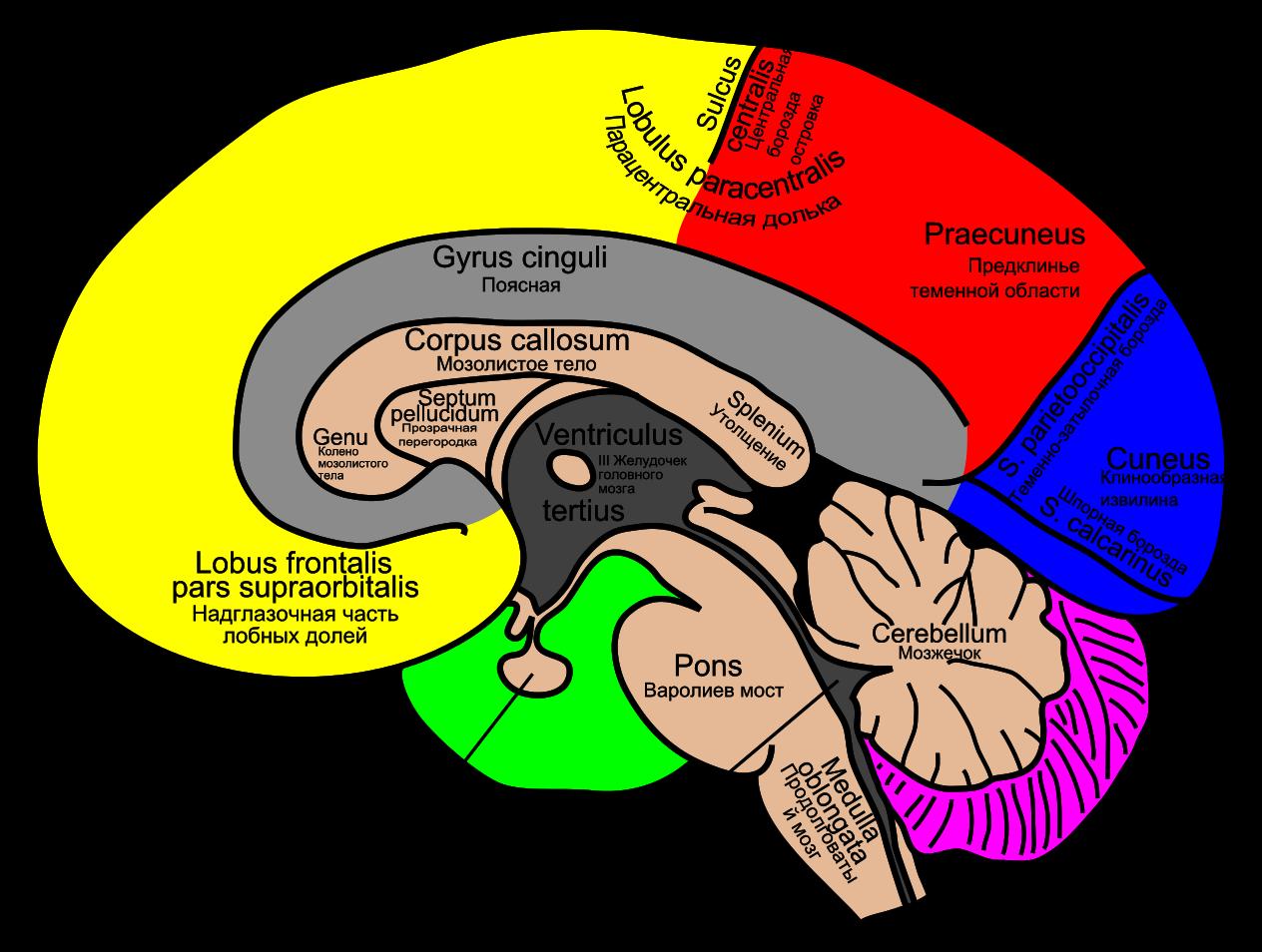 Файл:Gehirn, medial - beschriftet lat-rus.svg brain ...