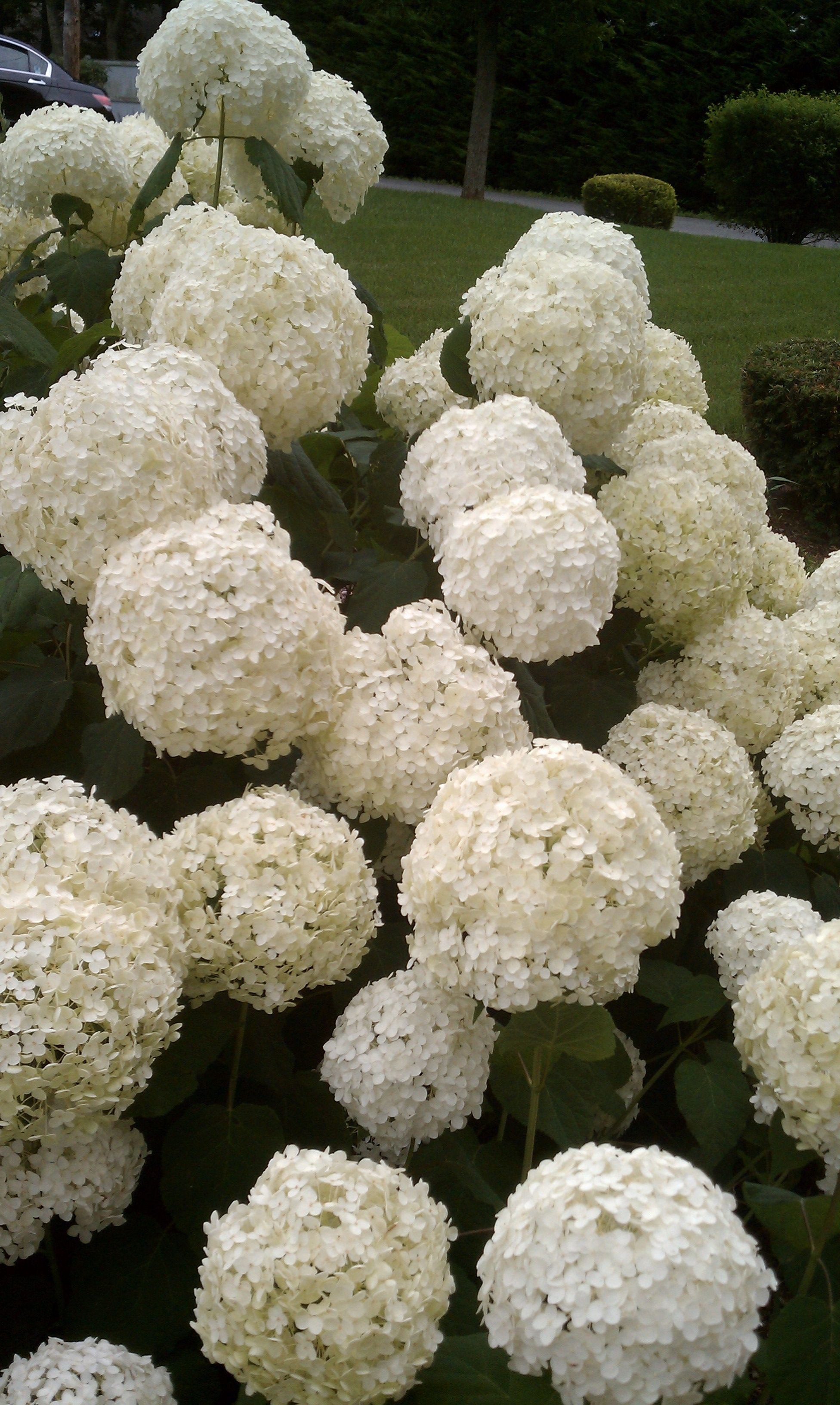 Omg These Are Beautiful Hope Mine Will Look Like This White Hydrangea Purple And White Flowers Hydrangea