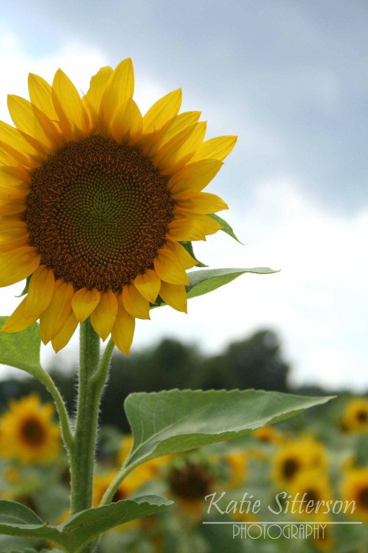 Sunflower Field Print Close Up Summer Photo Art Flower