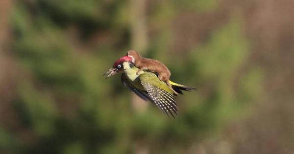 A weasel riding a woodpecker!
