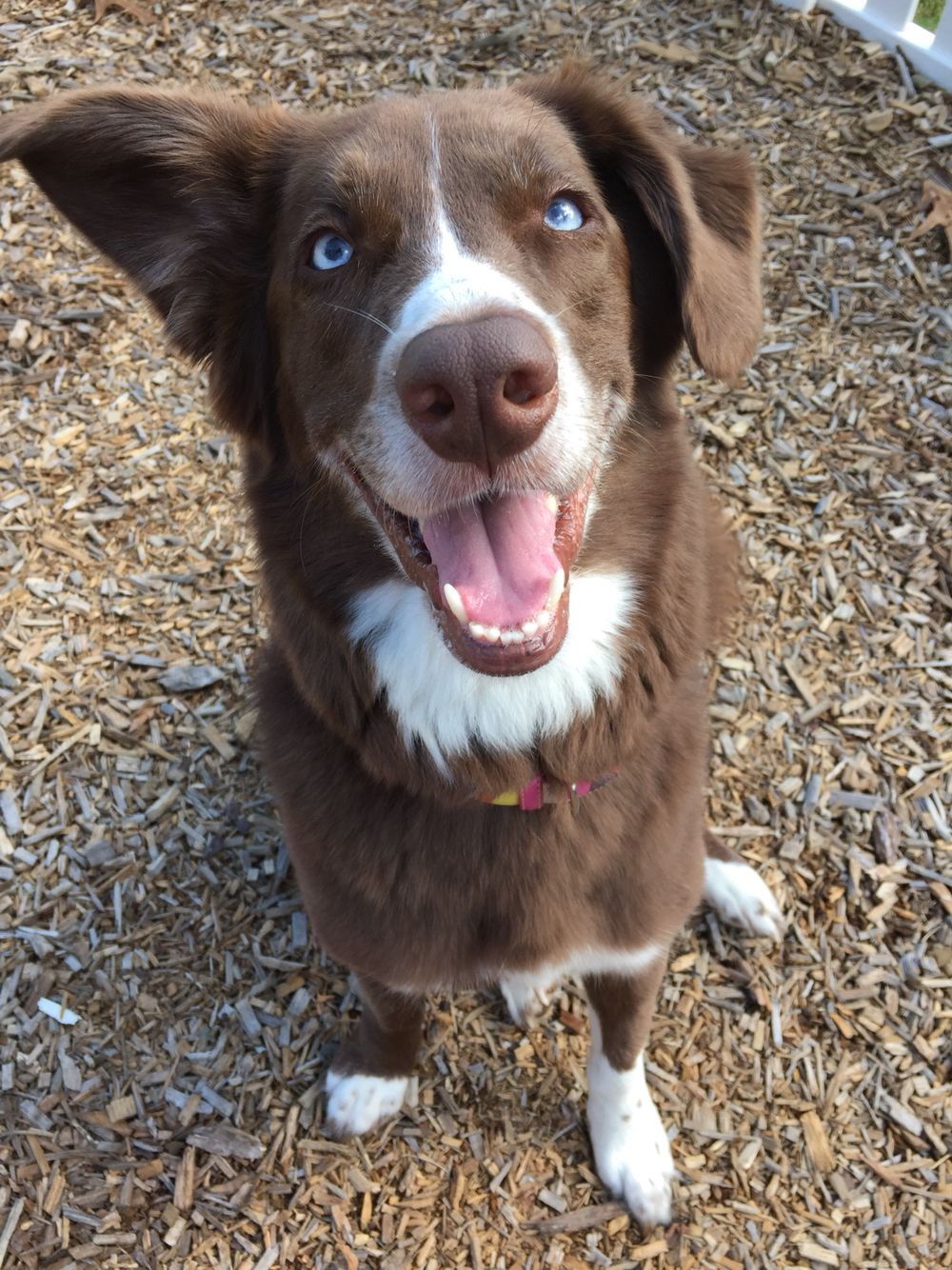 Red Border Collie With Blue Eyes