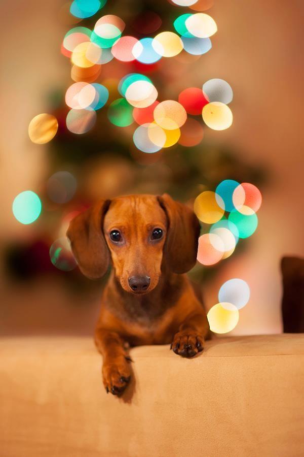 Cute! #dachshund