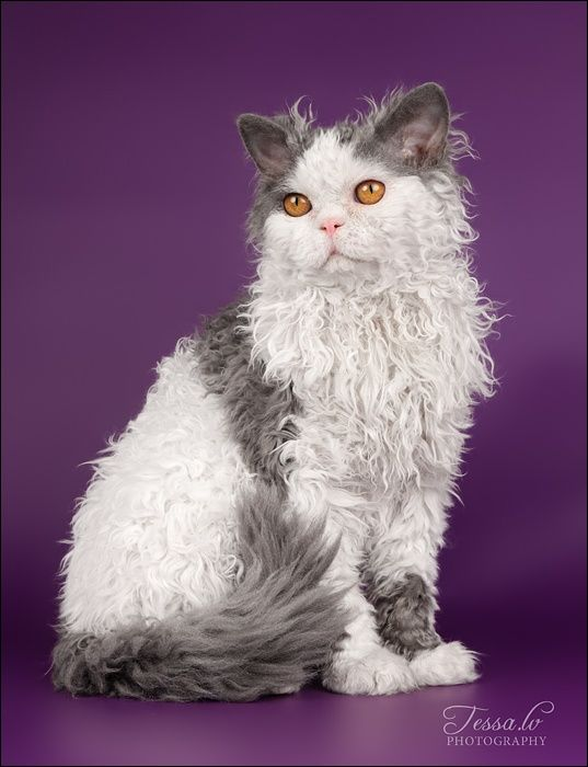 Selkirk Rex - known as the cat in sheep's clothing @Kelly Teske Goldsworthy Teske Goldsworthy Mageau I keep coming back to this beauty..I might just want one