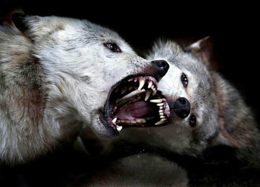 Wolves Fighting | Wolves | Pinterest | Wolves fighting ...