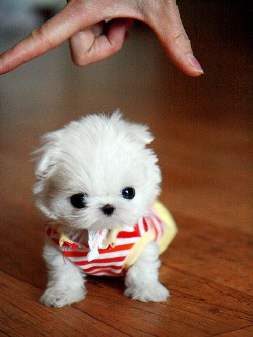 See More Top 10 Smallest Dog Breeds Cute Baby Animals Cute