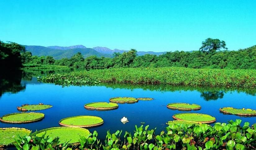 Pantanal Brazil These Are Giant Lilypads Wonders Of The World Brazil World Pictures