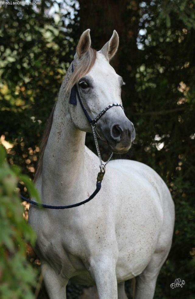 Nesj El Kyara (Khidar x Farelka) - Arabian Obsession