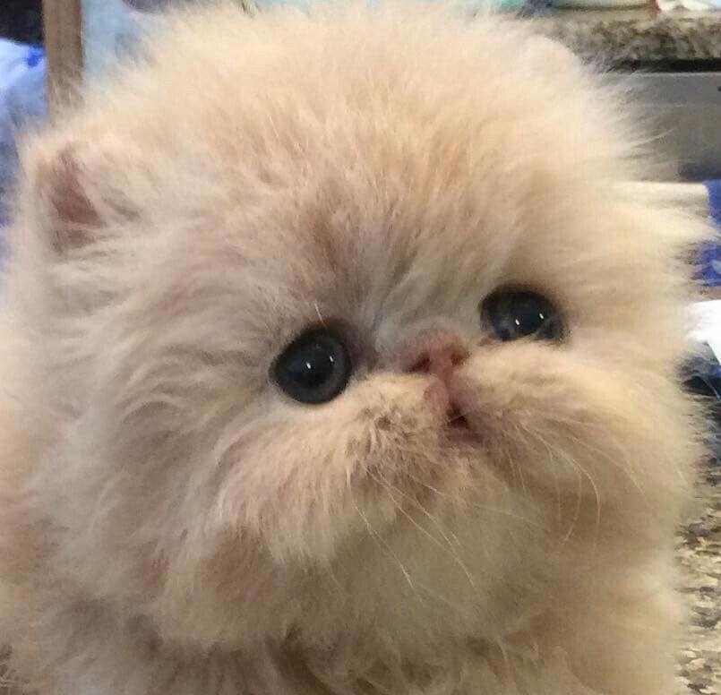 Carmen Lamonica And Kate Preston Here Is Glamazon At 3 Weeks Beautiful Cats Cute Animals Cute Cats