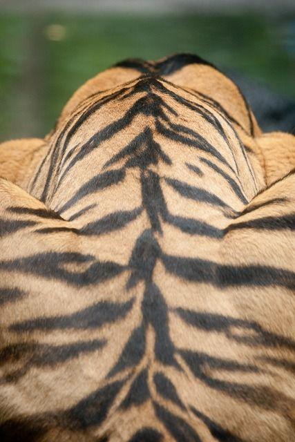 Coat of a Bengal Tiger