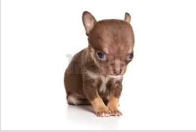 Tiny But Ferocious Cute Chihuahua Chihuahua Love Teacup Puppies