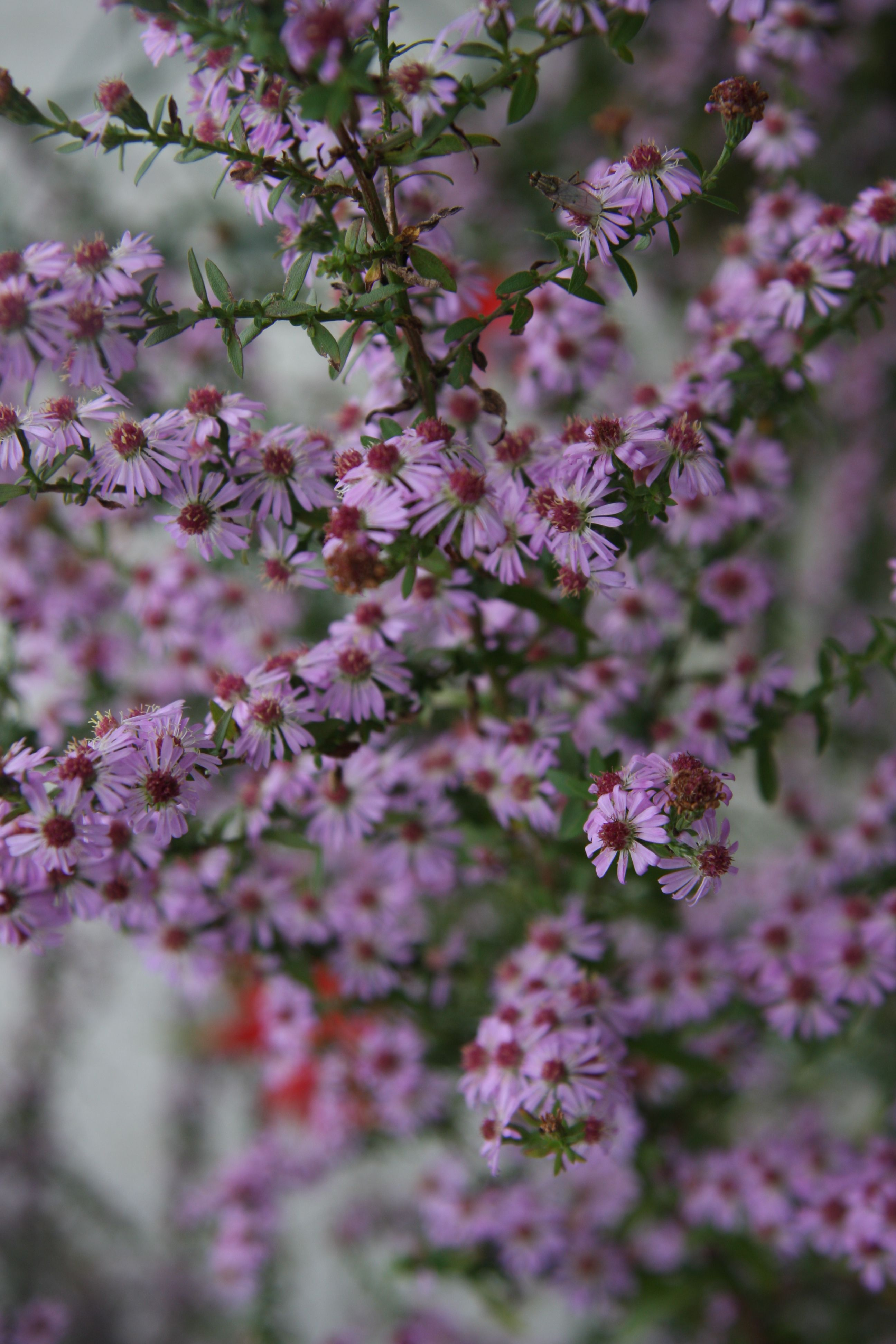 Aster Ericoides Pink Cloud Blossoms A Blooming Pink Clouds