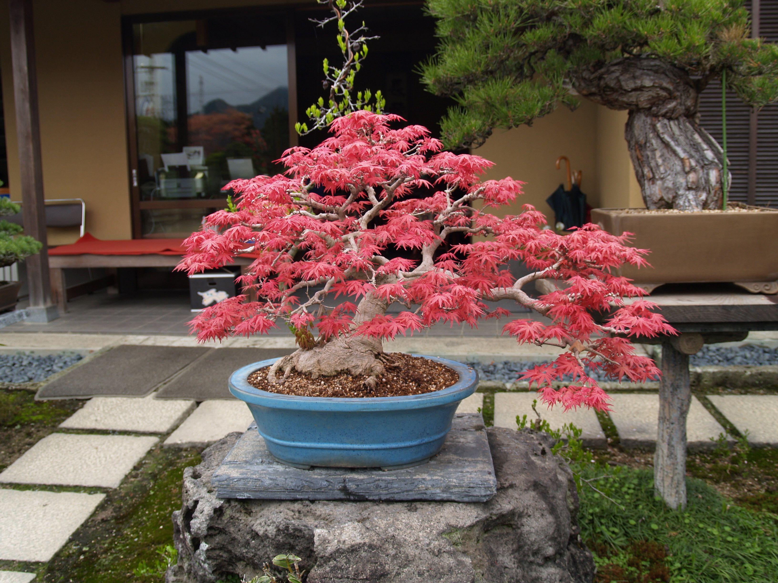 Check The Size Of The Nebari Bonsai Tree Bonsai Garden Fairy Garden Plants