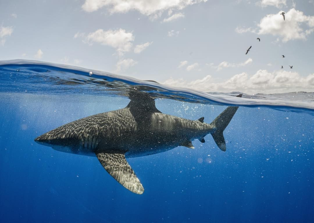 Threatened Oceanic Whitetip Shark