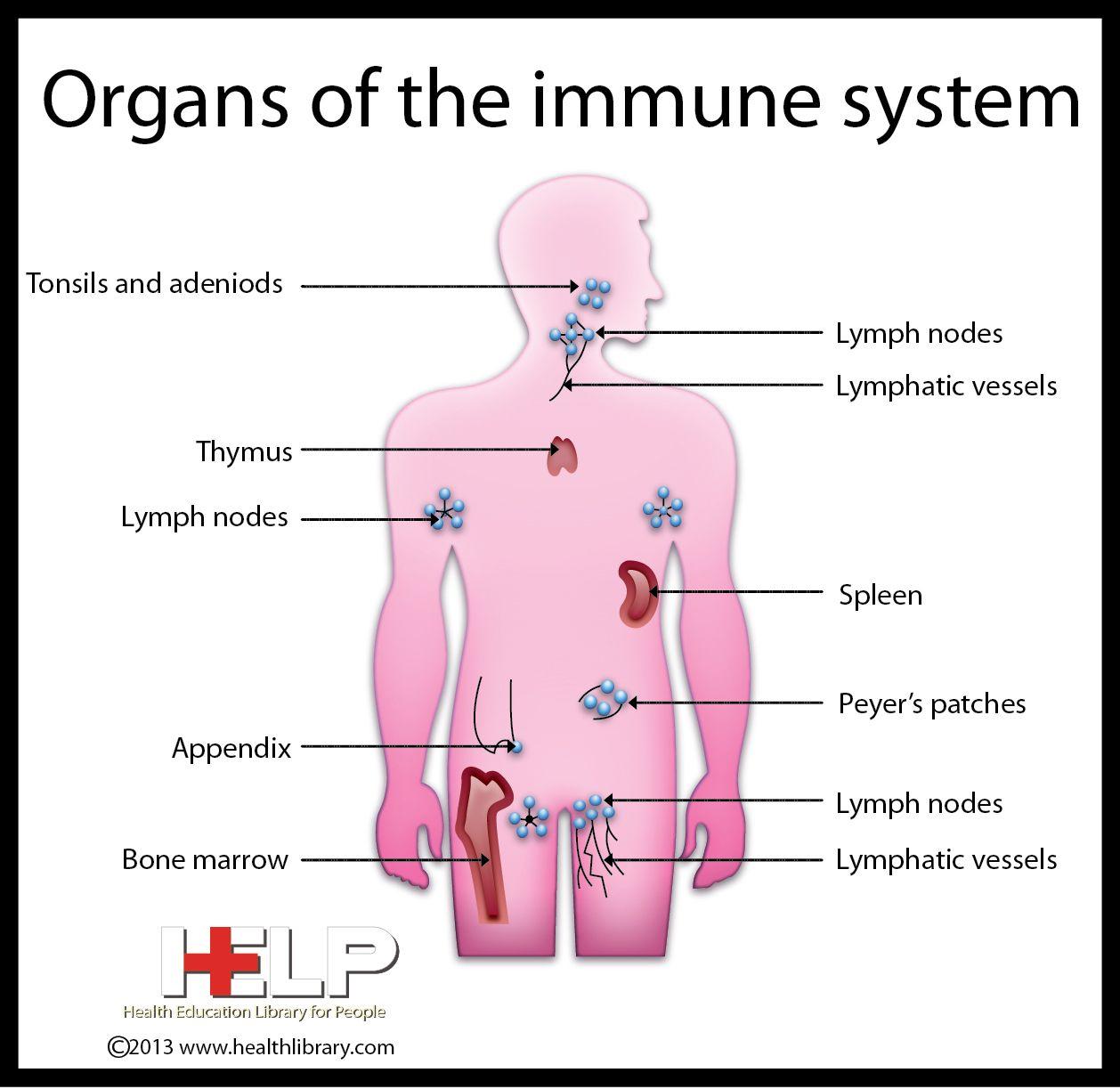 diagram of immune system diagram of nerve system