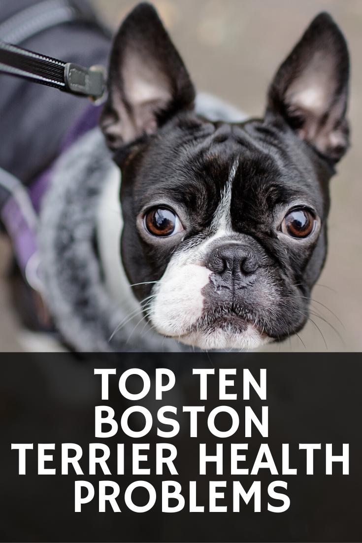 10 Common Boston Terrier Health Problems Boston Terrier Society Boston Terrier Boston Terrier Funny Terrier