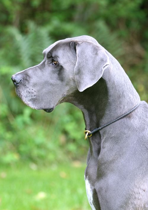 10 Interesting Facts About Great Danes Blue Great Danes Dane