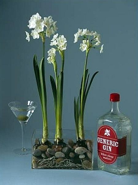 1 Part Spirit To 7 Parts Water Keeps Paperwhite Plants From Growing Obnoxiously Tall Garden Bulbs Paperwhites Bulb Flowers