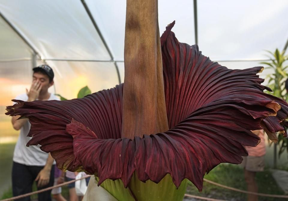 Franklin Park Zoo Visitors Bask In The Glory Of The Corpse Flower The Boston Globe Franklin Park Zoo Corpse Flower Garden Whimsy