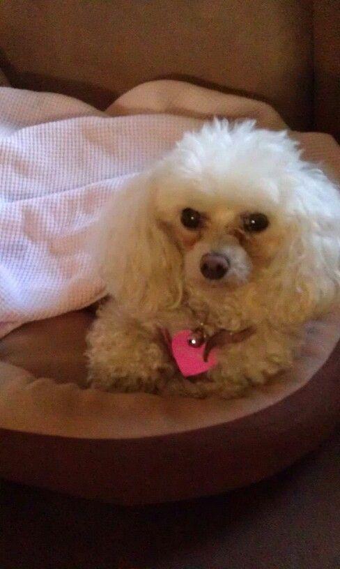 Poodle Teddy Bear Poodle Poodle Smartest Dog Breeds