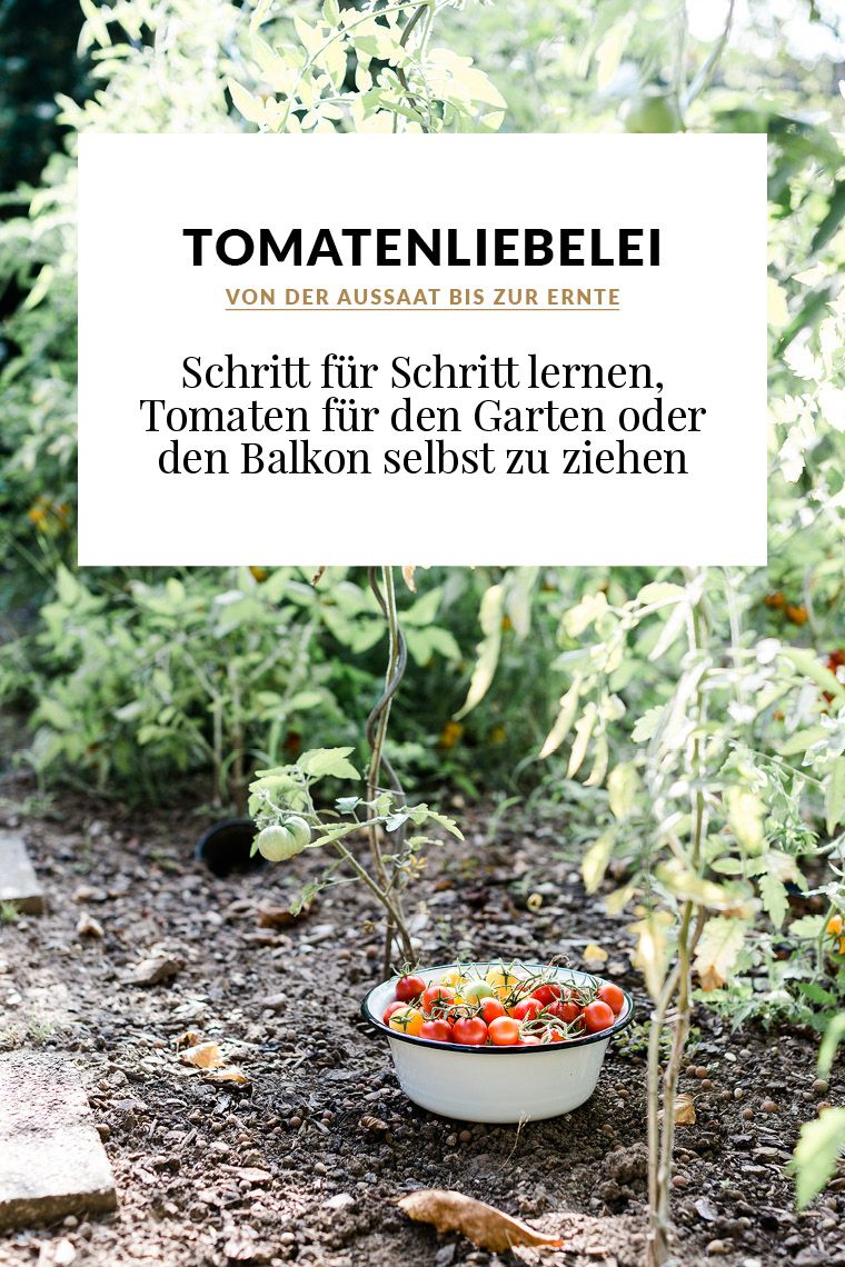 Von der Aussaat bis zur Ernte: Schritt für Schritt lernen, Tomaten für den Garten oder den Balkon selbst zu ziehen