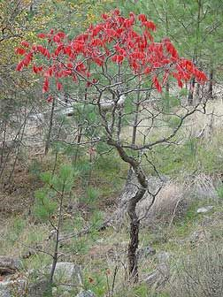Smooth sumac or Rhus glabra picture