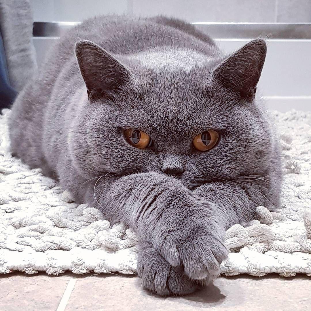 Pin Ot Polzovatelya Catherine O Connor Na Doske British Cats Britanskaya Korotkosherstnaya Koshachi Fotografii Pushistye Kotyata