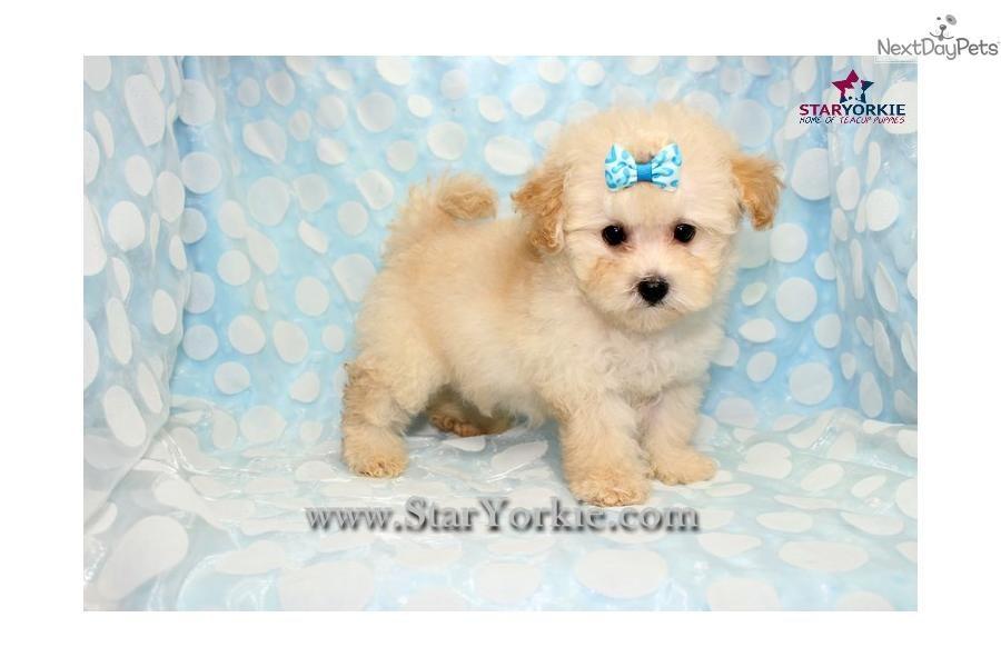 Malti Poo - Maltipoo puppy for sale near Los Angeles, California