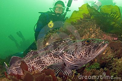 Diver with Ling Cod by Greg Amptman, via Dreamstime