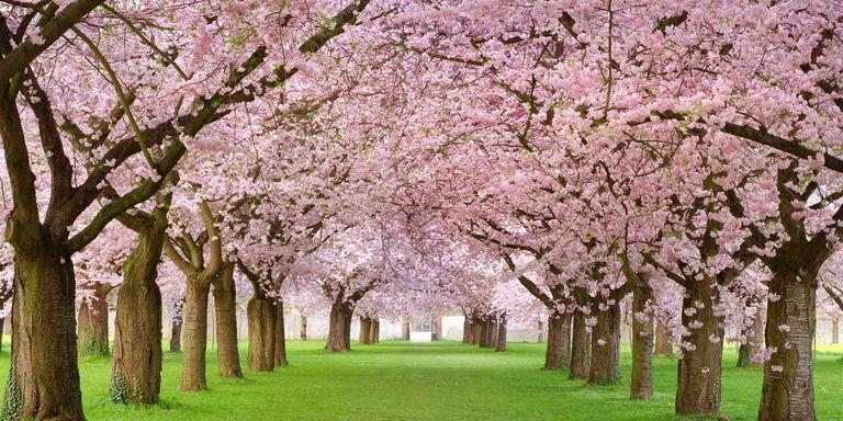 Image Result For Cherry Trees Blossom Trees Flowering Cherry Tree Spring Flowers Wallpaper