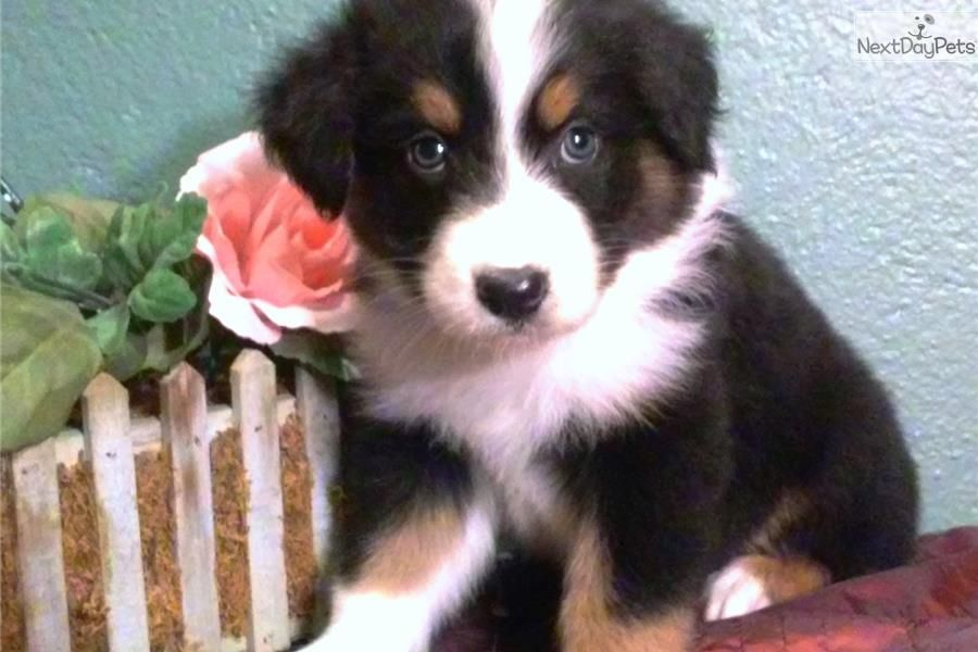 Akc Black Tri Male Australian Shepherd Puppy Australian Shepherd Blue Eyes Australian Shepherd Puppies