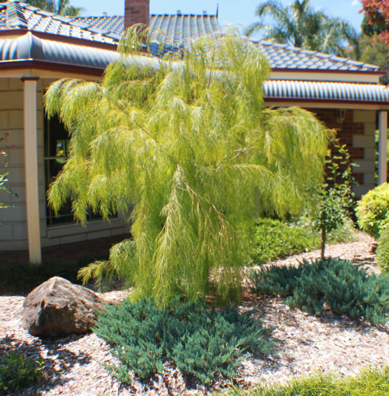 Acacia Lime Magik Glenhaven Nsw Australia Designascapes