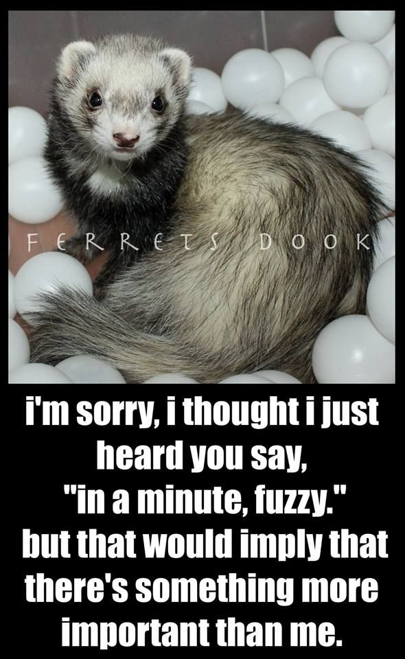 #ferrets #cute #animals #ferret #funny #forever #awesome #home #love…