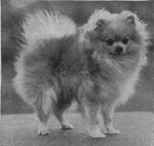 pictures of pomeranians | combination of colors such as owners millions of exotic puppies
