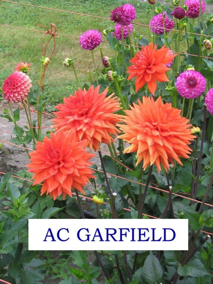 Accent Dahlias Gallery Ac Garfield 008 Jpg Dahlia Accented Garfield