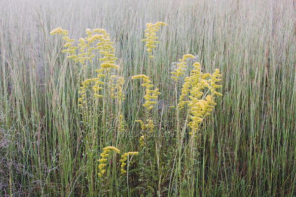 Second Tallest Andropogon Virginicus Broom Sedge With Solidago Goldenrod 2 4 3 5 Tall Bunchgrass Growing In Small Tufts Dry Grassland Front Garden Garden