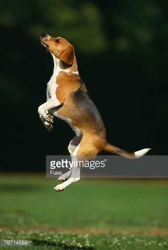 Image Result For Beagle Jumping Jumping Dog Beagle Dog Dogs