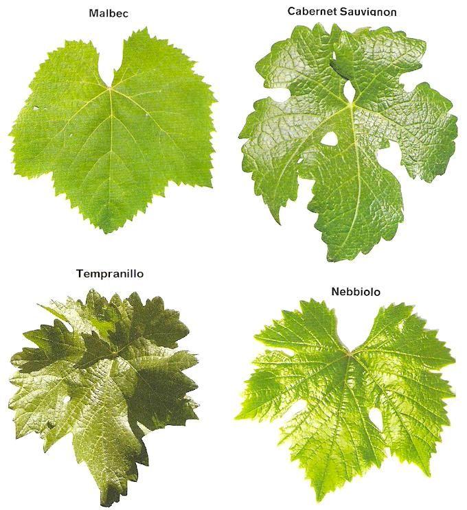 Las hojas de parras o de la planta de uvas son tan saludables como su fruto. Las hojas de parras se pueden utilizar en la cocina pero también con fines medicinales. Las hojas de parras le aportan al cuerpo nutrientes como: -vitamina A -vitamina B6 -vitamina C -vitamina E -vitamina K -hierro -fibra -ácido fólico -cobre -calcio -magnesio -manganeso -sustancias como niacina y riboflavina  Las propiedades nutricionales de las hojas de parra son realmente saludables por eso vale la pena…