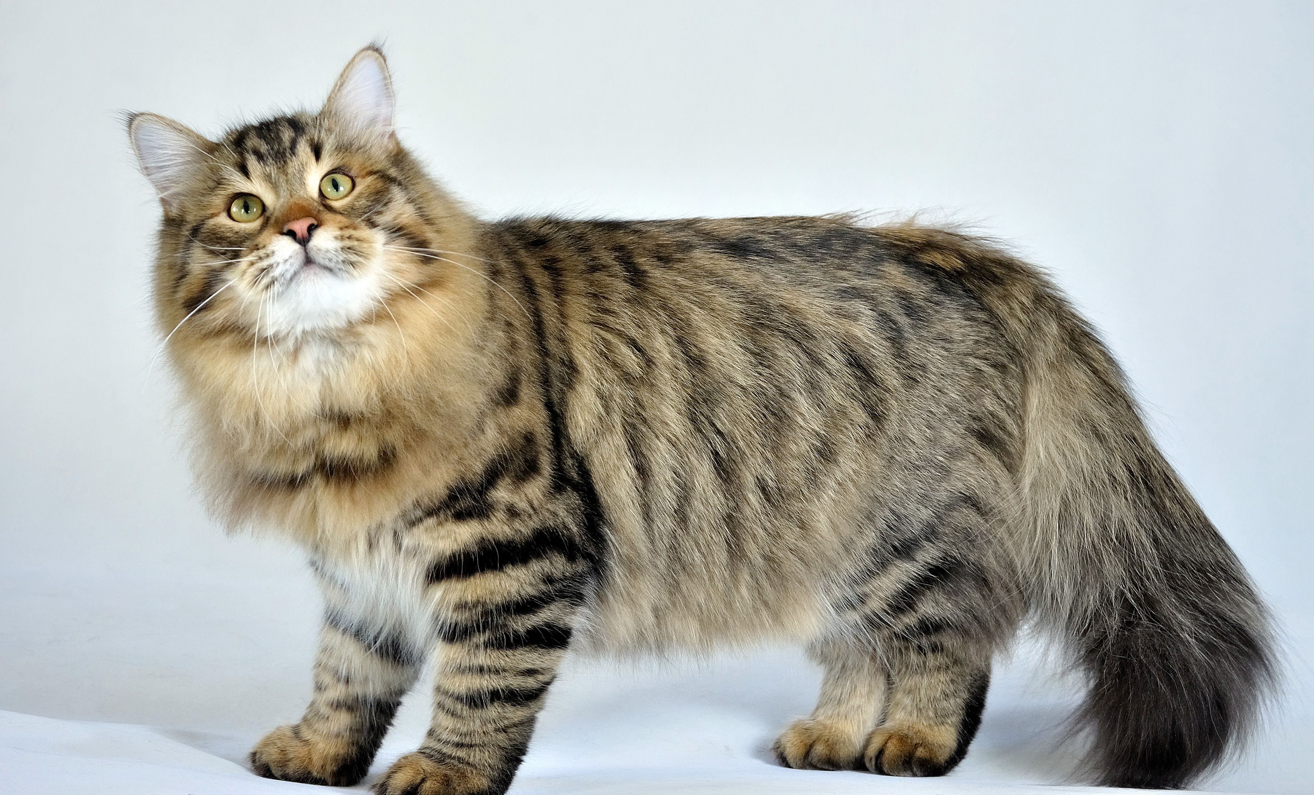 Hereditary Diseases of the Siberian Forest Cat | Siberian forest ...