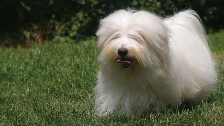 30 Small Hypoallergenic Dogs That Don T Shed Dog Breeds Hypoallergenic Dog Breed Cute White Dogs