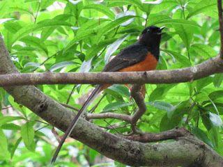 Foto Burung Murai Batu Bird Animals Pets