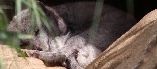 Arctic Fox Hiding In A Cool Spot Pet Smart Store Petsmart Wrist Cuffs
