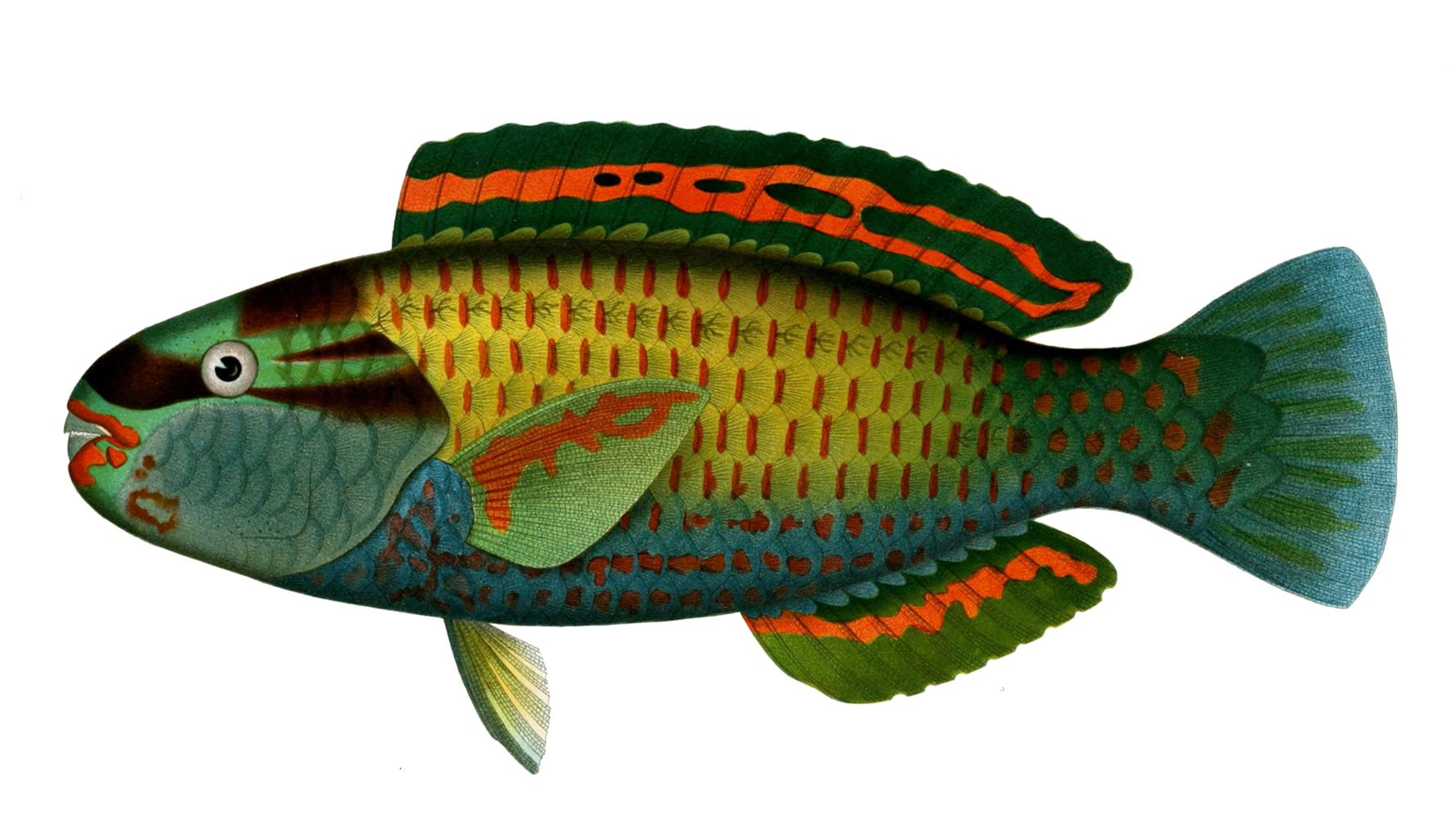Chlorurus japanensis is een straalvinnige vissensoort uit de familie van papegaaivissen (Scaridae)