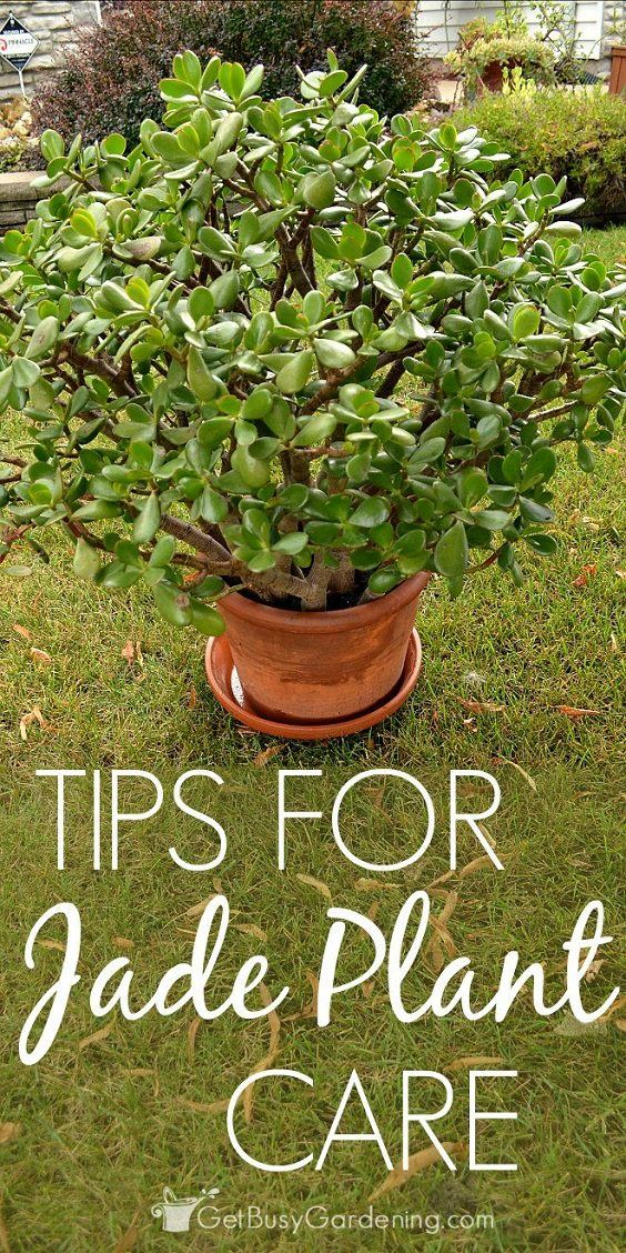 How To Care For A Jade Plant Indoors Jade Plants Plants And