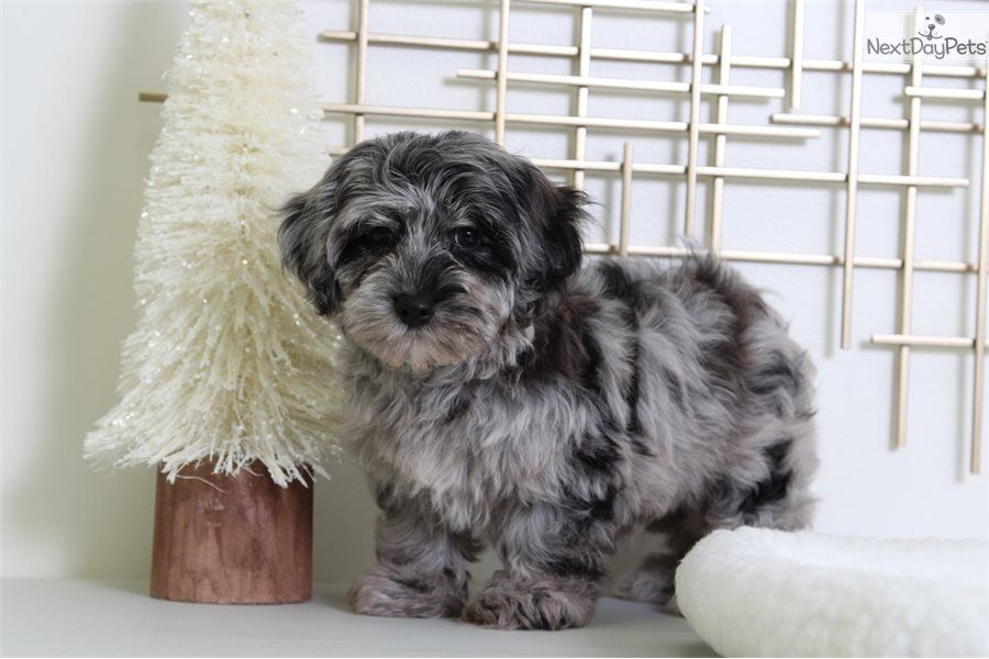Pictures Of Our Cute Male Yorkiepoo Yorkie Poo Puppy Looking For