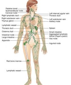 lymph nodes of the body diagram - Google Search | Anatomical ...