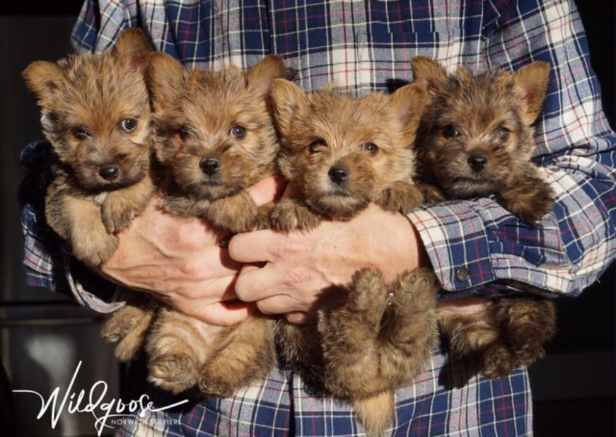 Wildgoose Norwich Terriers Norwich Terrier Puppy Norwich