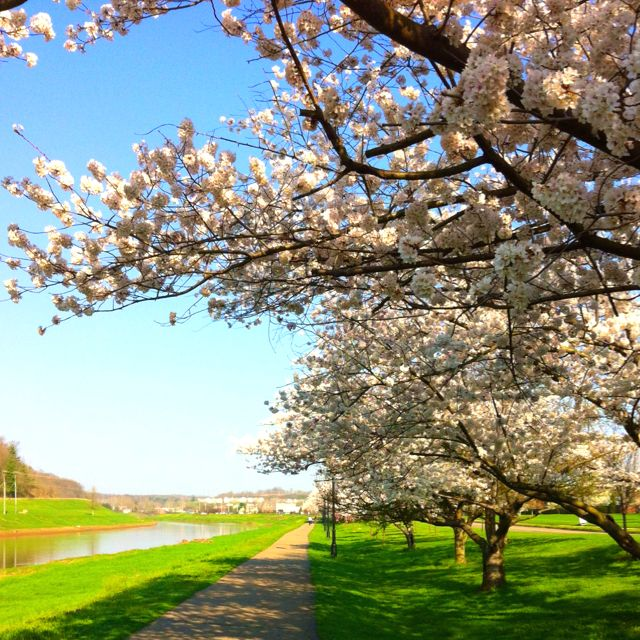 Did You Know That These Cherry Blossom Trees Were A Gift Chubu University In Japan Not To Mention They Are Beautiful Ht Athens Ohio Ohio University Athens